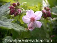 Geranium cantabrigiense biokovo 17-11