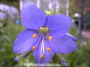 Polemonium caeruleum 17-11