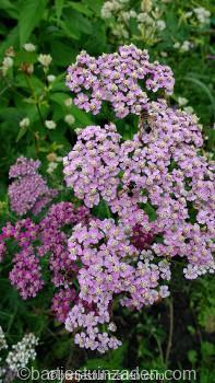 achillea-millefolium-rosea-mix