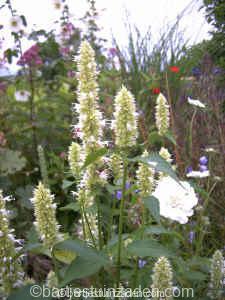 agastache utricifolia alba 24-07 DSC00048