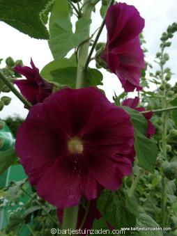 alcea rosea paars
