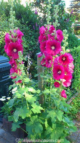 alcea rosea rood met hart