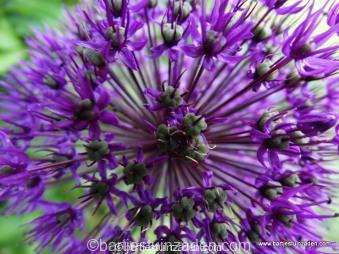 allium 'purple sensation