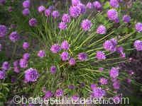 allium schoenoprasum 17-11