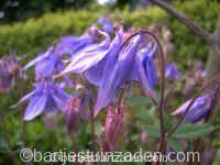 aquilegia vulgaris blauw 17-11