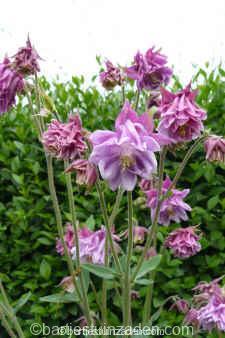 aquilegia vulgaris dubbel roze