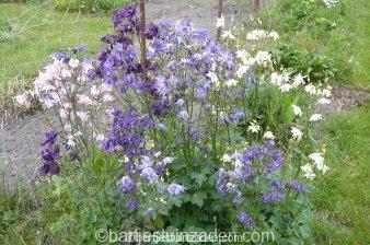 aquilegia vulgaris gemengde soorten