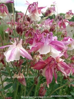 aquilegia  vulgaris william guineus