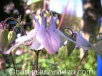 aquilegia vulgaris wit