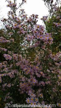 aster-lichtblauw-paars