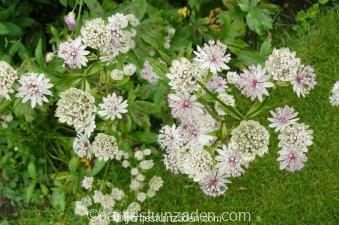 astrantia major sunningdale variegated