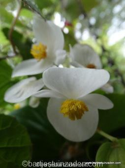 begonia semperflorens wit