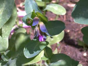 cerinthe major pupurescens kiwi blue 26-06 DSC00066