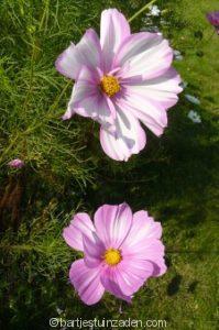 cosmea roze tinten mix