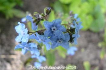 cynoglossum armabile blue shower