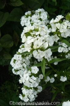 dianthus barbatus alba