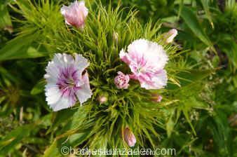 dianthus barbatus gemengde kleuren