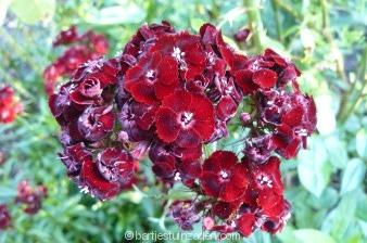 dianthus barbatus var nigrescens