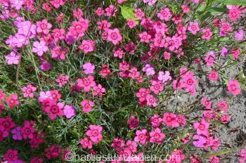 dianthus deltoides leuchtfeunkJPG
