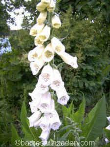 digitalis purpurea alba 17-11