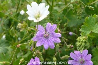 geranium mix pyrenaicum en albi florum