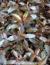 haloragis erecta wellington bronze