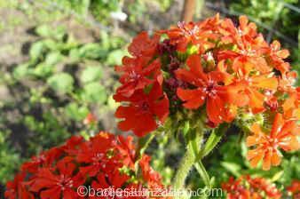 lychnis calcedonica