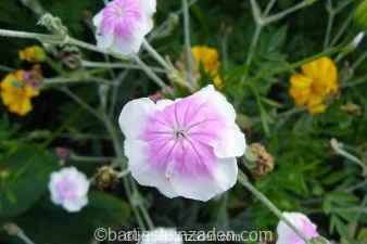 lychnis coronaria angel blush