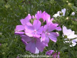 malva moschata roze 26-06 DSC00028