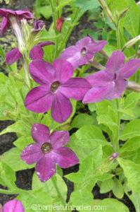 nicotiana deep purple perfume