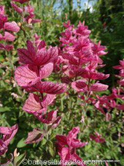 salvia horminum rosea