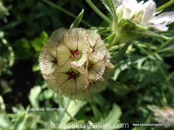 scabiosa stellata drumstick