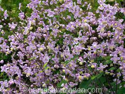 thalictrum rochebruneanum