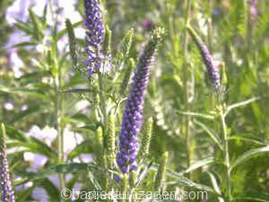 veronica spicata 26-06 DSC00081