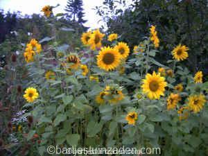 zonnebloemen 23-08 DSC00072